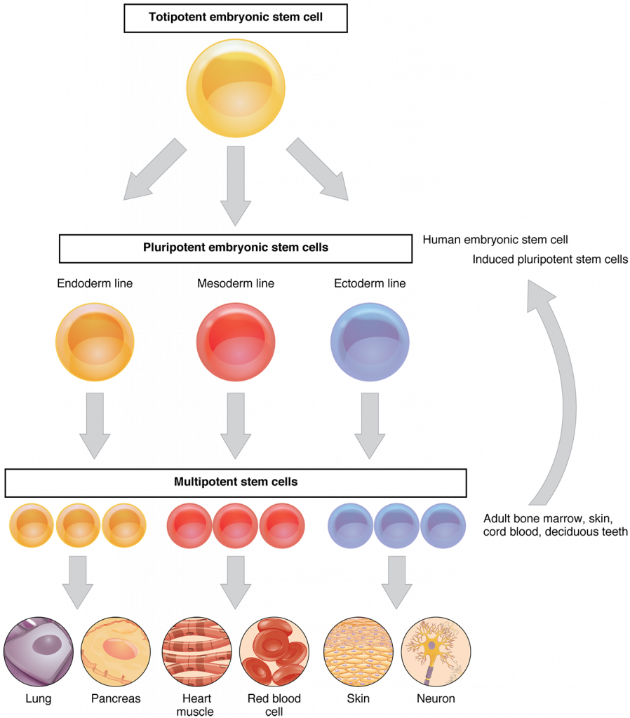Stem Cells & Controlling Protein Synthesis, figure 2
