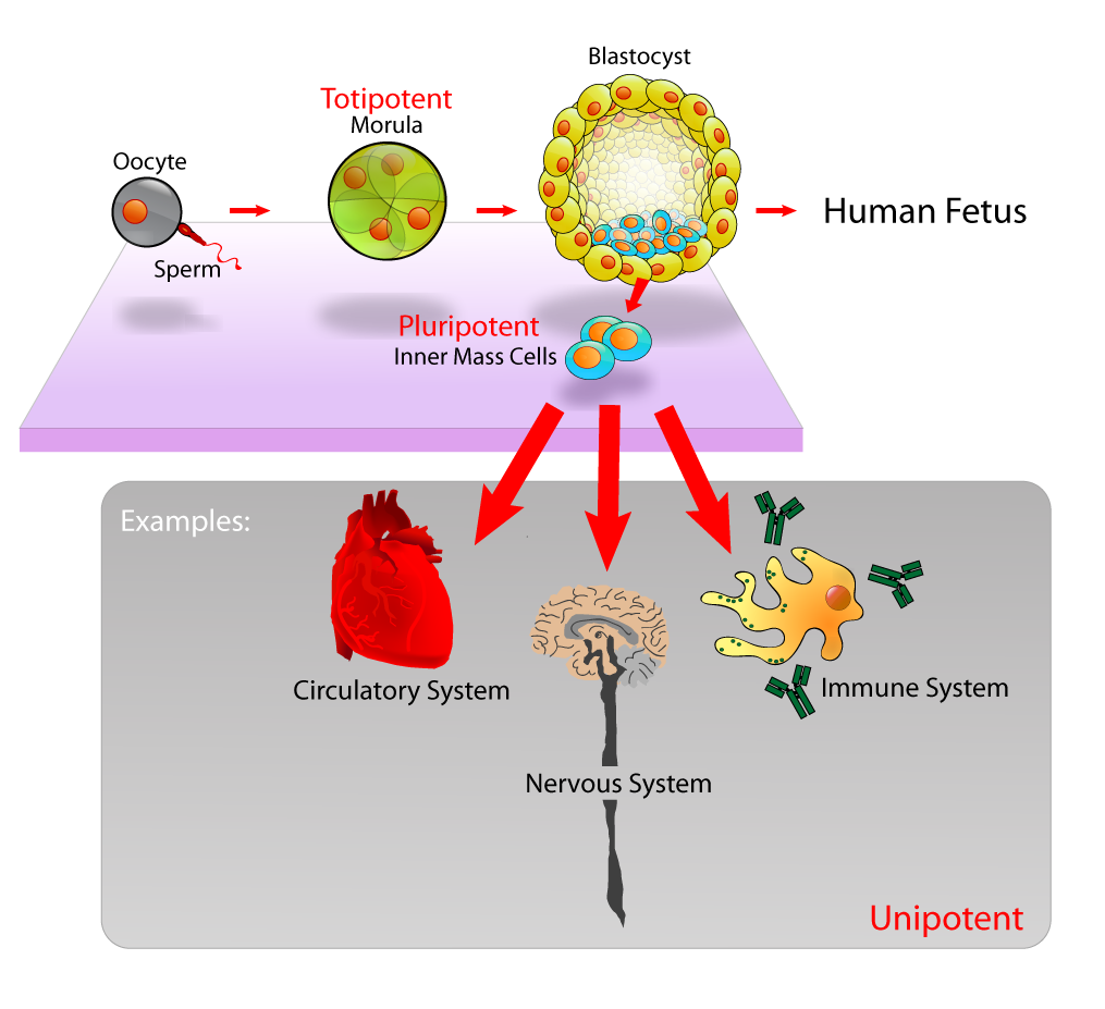 Stem Cells & Controlling Protein Synthesis, figure 1