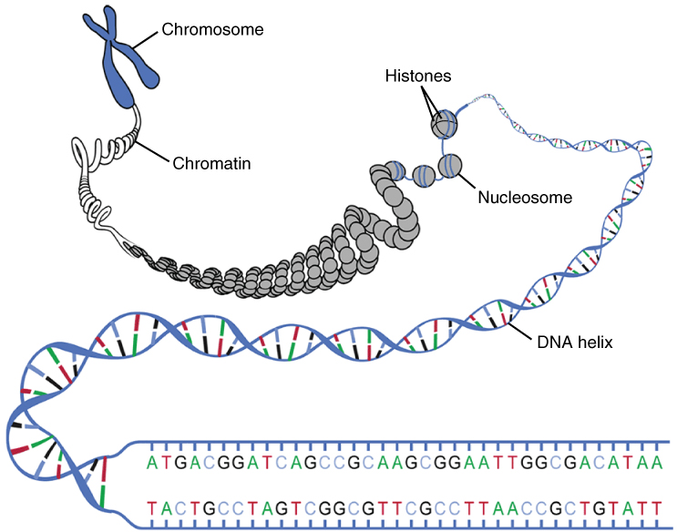 DNA & the Genetic Code, figure 1