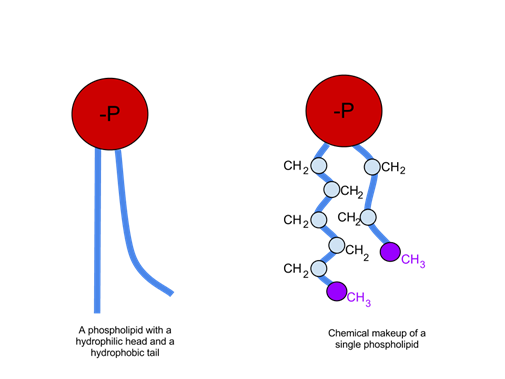 Biological Molecules, figure 5