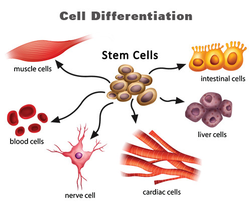 Specialised Cells, figure 1