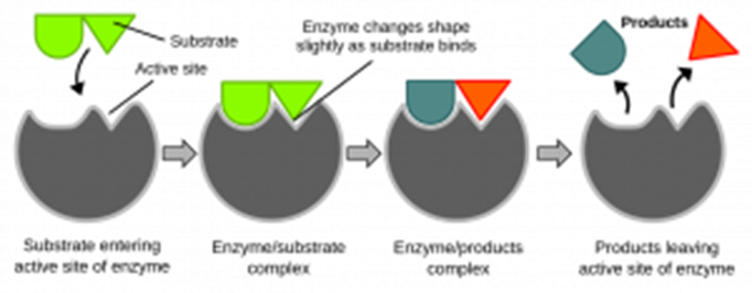 Enzymes, figure 3