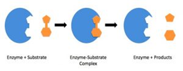 Enzymes, figure 2