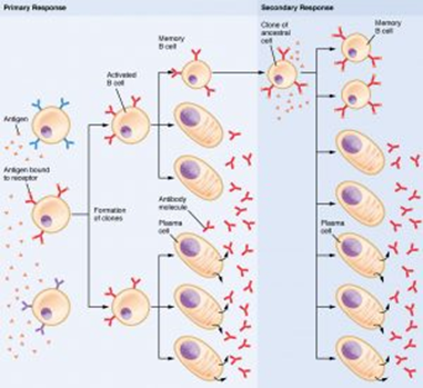 Communicable Diseases, Disease Prevention and the Immune System, figure 4