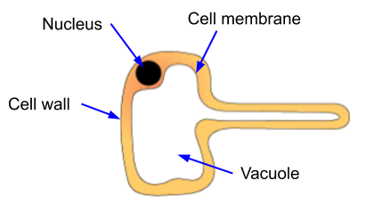 Specialised Cells, figure 2